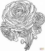 Flower Peony Coloring Pages Printable Adult Rose Adults Peonies Roses Advanced Version Supercoloring Colouring Drawing Super Tablets Ipad Compatible Android sketch template