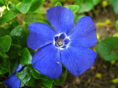 periwinkle flowers saratoga woods and waterways one beauty after another