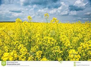 Graines Fleurs Des Champs : fleurs des champs jaune ~ Melissatoandfro.com Idées de Décoration