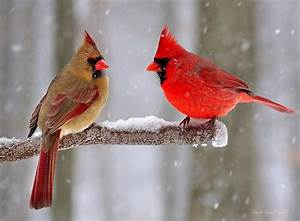 Northern cardinal (Cardinalis cardinalis), female & male ...