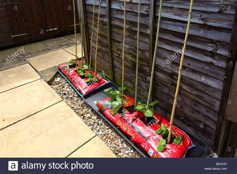 runner beans planted   grow bag  tray  wicks