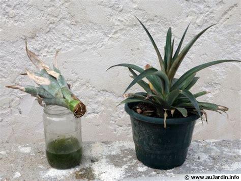 légumes à cuisiner bouturer un ananas