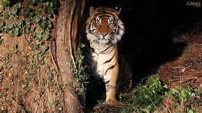 Bluszcz Tigre Espreita Tiger Parede Tygrys Papel