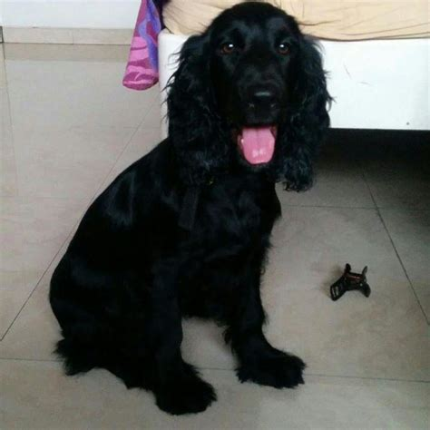 sophie cocker spaniel english  adoption mumbai