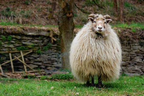 Daemmstoff Aus Schafwolle by D 228 Mmung Aus Nachwachsenden Rohstoffen Enbausa De