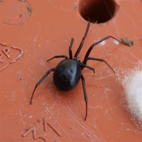 araignee dans la maison steatoda grossa araign 233 e le monde des insectes