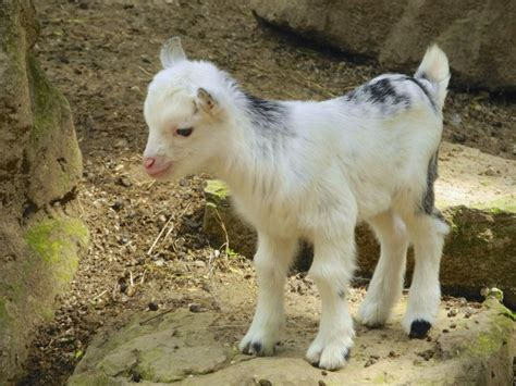 baby pygmy goat learns  hop viral video timecom