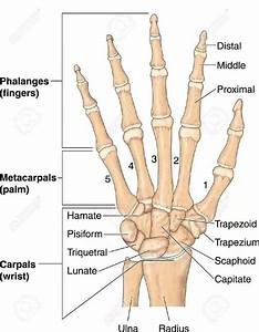 Image Result For Carpals Metacarpals And Phalanges