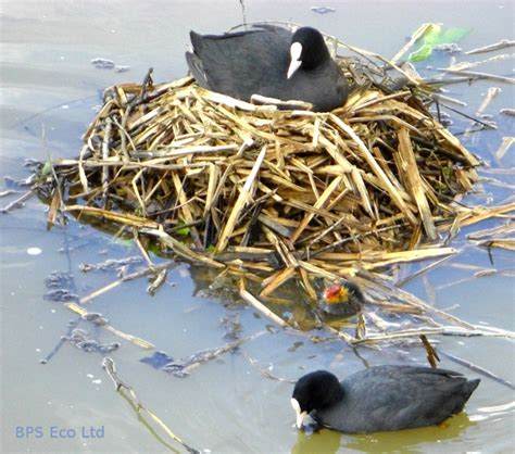 nesting birds and construction sites bps eco ltd