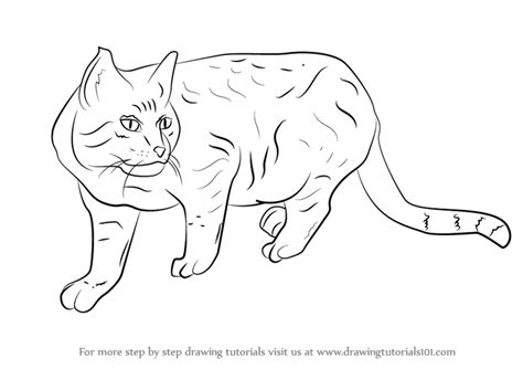 learn   draw  wildcat cats step  step drawing
