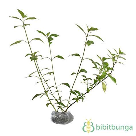 tanaman komfrey comfrey bibitbungacom