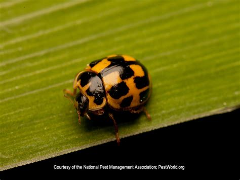 Ladybug Pest Control Information