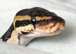 Look hooww cute its wittle face is!!!! A cute ball python ...