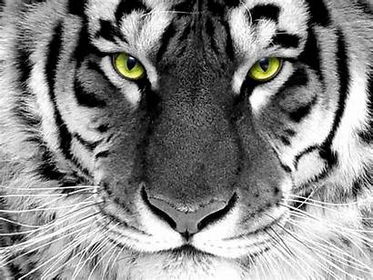 Tiger Pack Wallpapers Desktop Animal Tigers Background