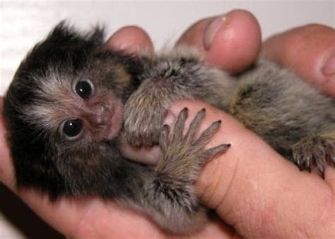 Small As Your Finger But They Are Not Insects But Monkeys
