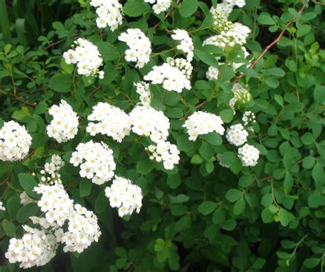 spirea shrub pictures views from the garden how to propagate spirea shrubs through cuttings