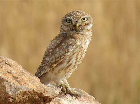 owl greece national bird wallpapers