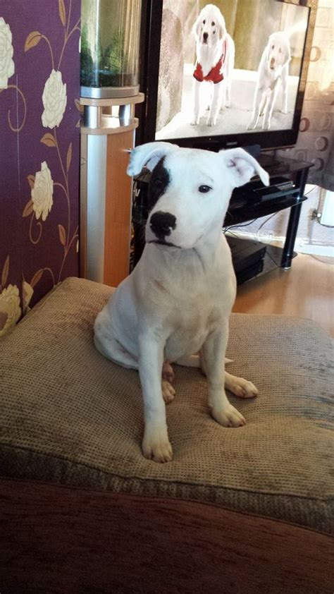 marley   month  male staffordshire bull terrier dog