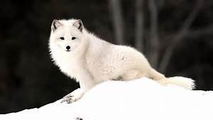 Arctic Fox Wallpapers - Wallpaper Cave