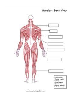 This is an online quiz called muscular system labeled back. Muscles worksheet.doc | Muscular system anatomy, Human body activities, Human body