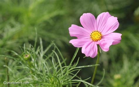 picture of cosmos flower cosmos flower quotes quotesgram