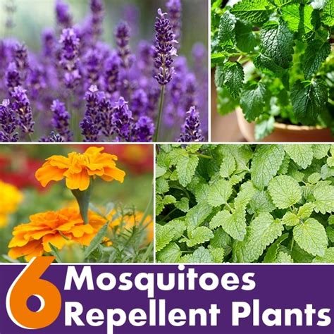 plants that mosquitoes 6 plants that repel mosquitoes diy home things