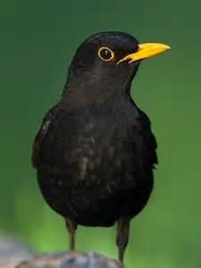 Black Bird with Yellow Beak