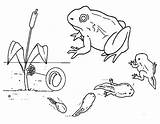 Tadpole Frog Evolution Coloring Template Pollywog Drawings Pages Sketch sketch template
