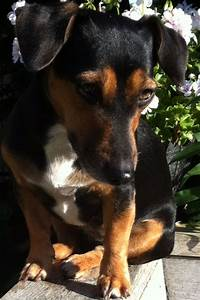Jack Russel, Black & tan | Mirthe! | Pinterest