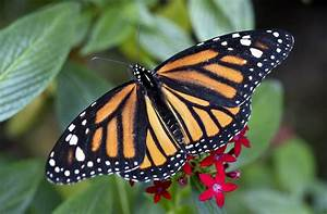 Number Of Monarch Butterflies In Mexico Drops  Reversing Recovery