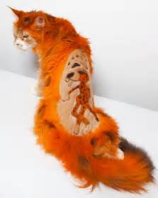 cats that look like tigers cats dyed to look like tigers at intergroom pet summit in