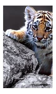 Cute Baby Tiger Full Wallpapers HD / Desktop and Mobile ...