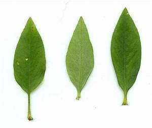Coreopsis pubescens page