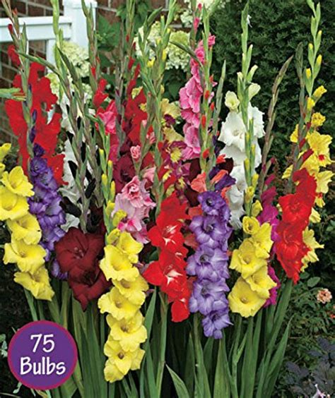 easy to grow gladiolus bulbs 637748201910 toolfanatic