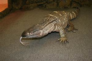 Black Throat Monitor Facts and Pictures | Reptile Fact
