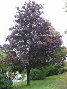 Baum Mit Roten Blättern : blut ahorn ~ Eleganceandgraceweddings.com Haus und Dekorationen