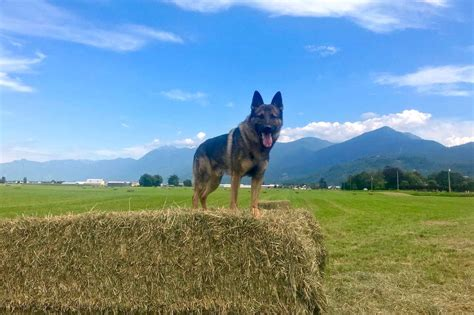 Chilliwack police dog breaks distancing rules to nab