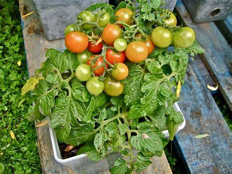 coltivare pomodori in vaso pomodori sul terrazzo orto in balcone coltivare