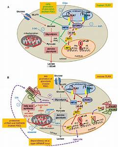 Metabolic Changes In Plasmacytoid Dendritic Cells  Pdc