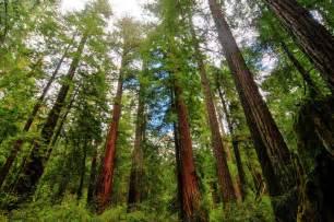 Giant Redwood Trees California