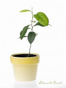 Dünger Für Zitronenbaum : einen zitronenbaum selber ziehen zeitvertreib f r kleine ~ Watch28wear.com Haus und Dekorationen