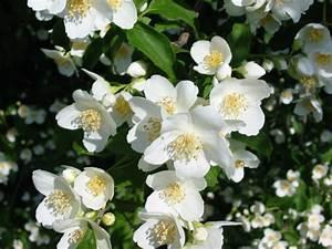 Weiße Dekosteine Garten : gartenpflanze 8 pr chtige klassiker f r ihren garten oder balkon ~ Sanjose-hotels-ca.com Haus und Dekorationen