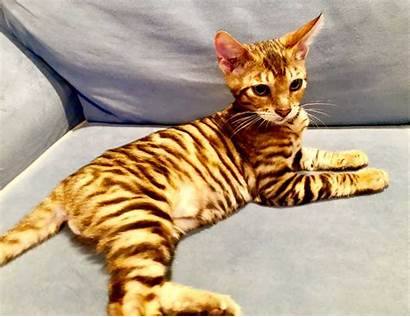 Exotic Cat Cats Bengal Toyger Breeders Urban