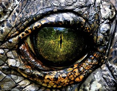 Eye Alligator Scales Reptile Animals