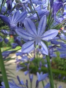 Graines D Agapanthe : photo agapanthe ou lis du nil ~ Melissatoandfro.com Idées de Décoration