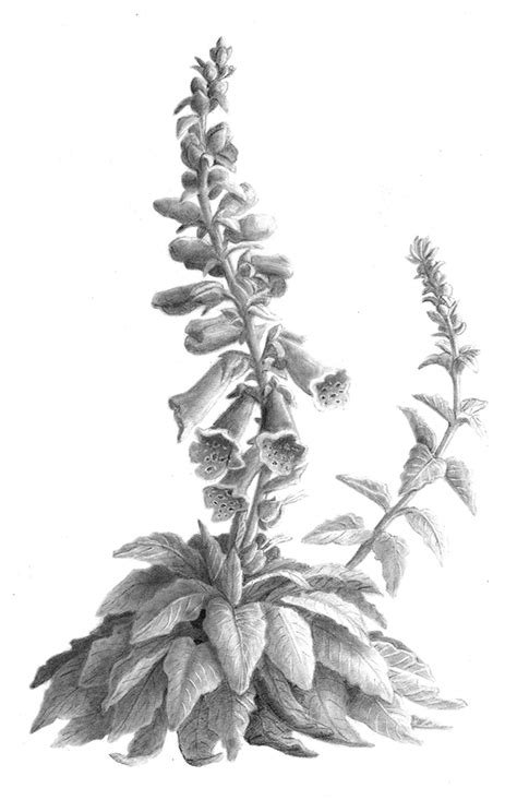 Botanical Illustration- Foxglove (Greyscale) on SCAD