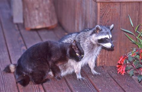 housecat   raccoon  friends  photographed