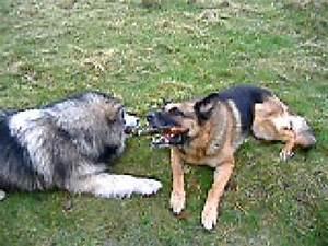 alaskan malamute sig & german shepherd max - YouTube