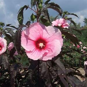 Riesen Hibiskus Kaufen : neuheit riesen hibiskus hibiscus moscheutos summer storm winterfest staude ebay ~ Watch28wear.com Haus und Dekorationen