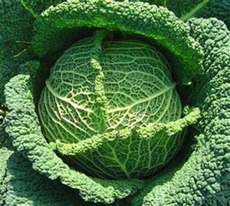 comment cuisiner un choux vert planter des choux jardiner avec jean paul